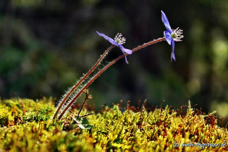 Blumen in den Wäldern um den Tegernsee