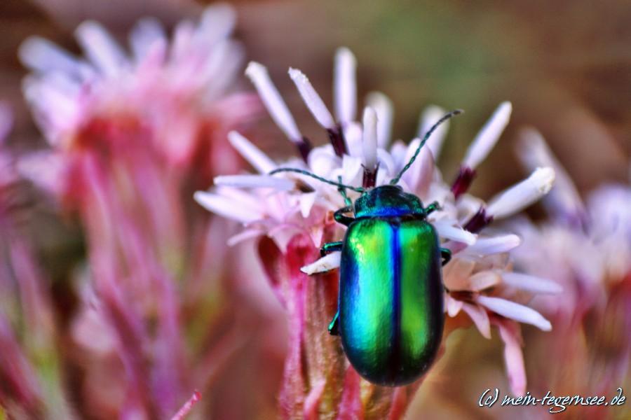 Der grüne Sauerampferkäfer