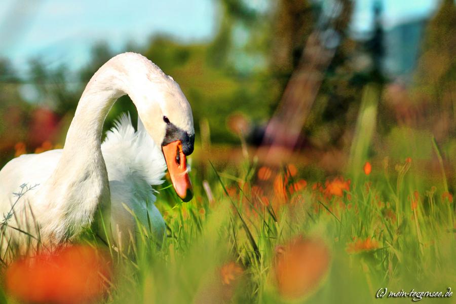 Ein Schwan auf der Wiese am Tegernsee