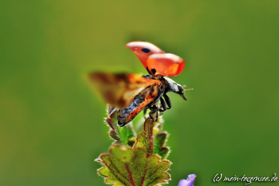 Ein Marienkäfer startet zum Flug
