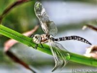 Libelle sitzend auf einem Blatt