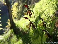 Frauenschuh Orchidee (1)