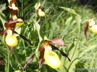 Frauenschuh Orchidee (2)
