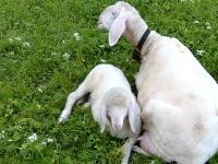 Schaf mit Jungem