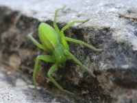 Grüne Spinne