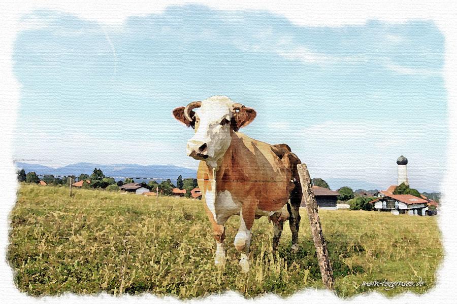 Felder und Vieh am Ortsrand von Waakirchen.