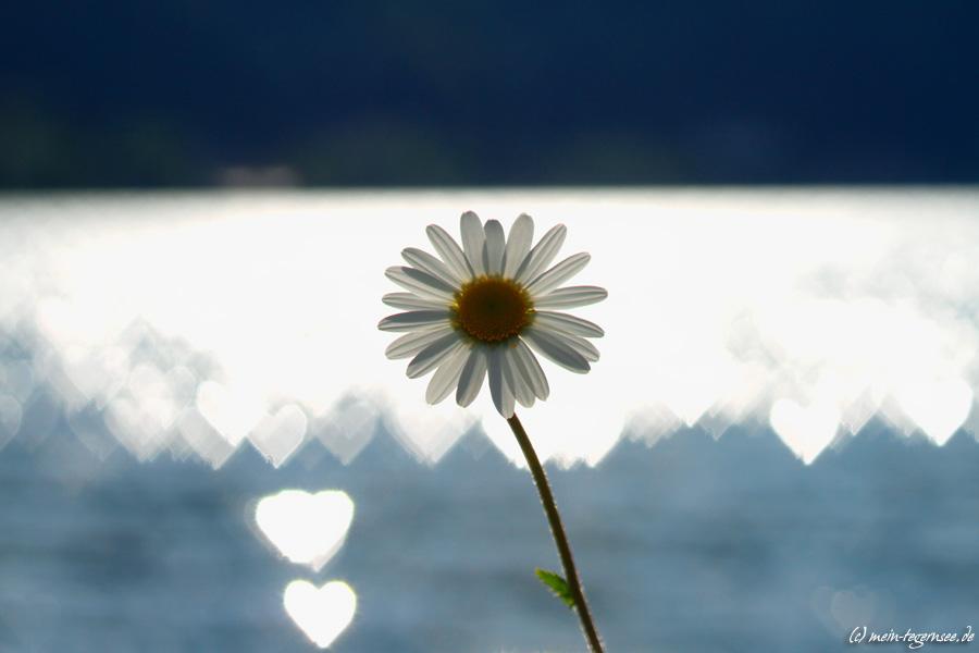Einsame Margerite umgeben von Herzen