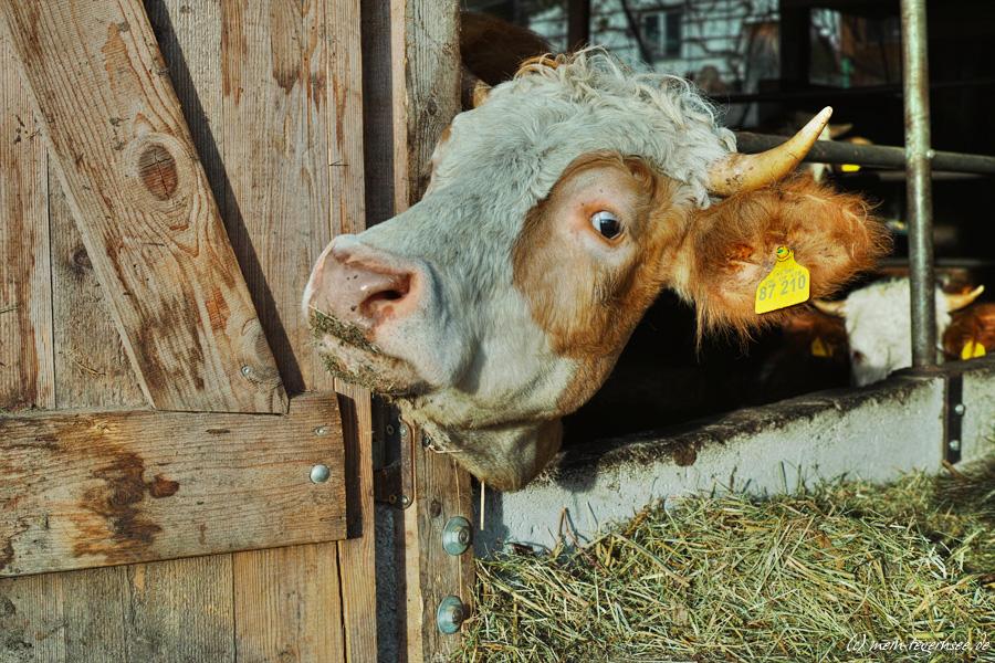 Kühe am Tegernsee