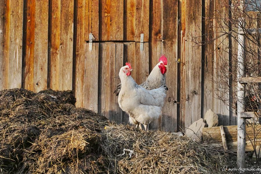Hühner auf dem Misthaufen