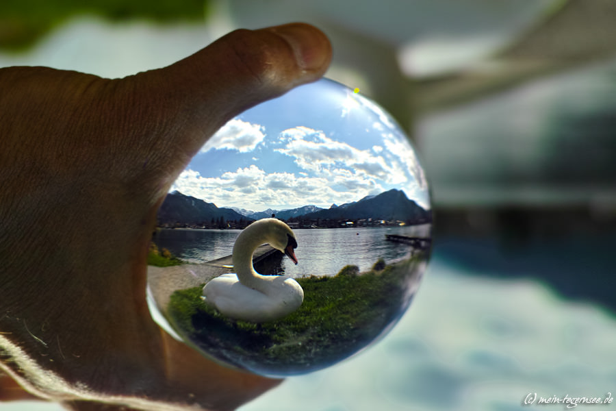 Weißer Schwan am Tegernsee