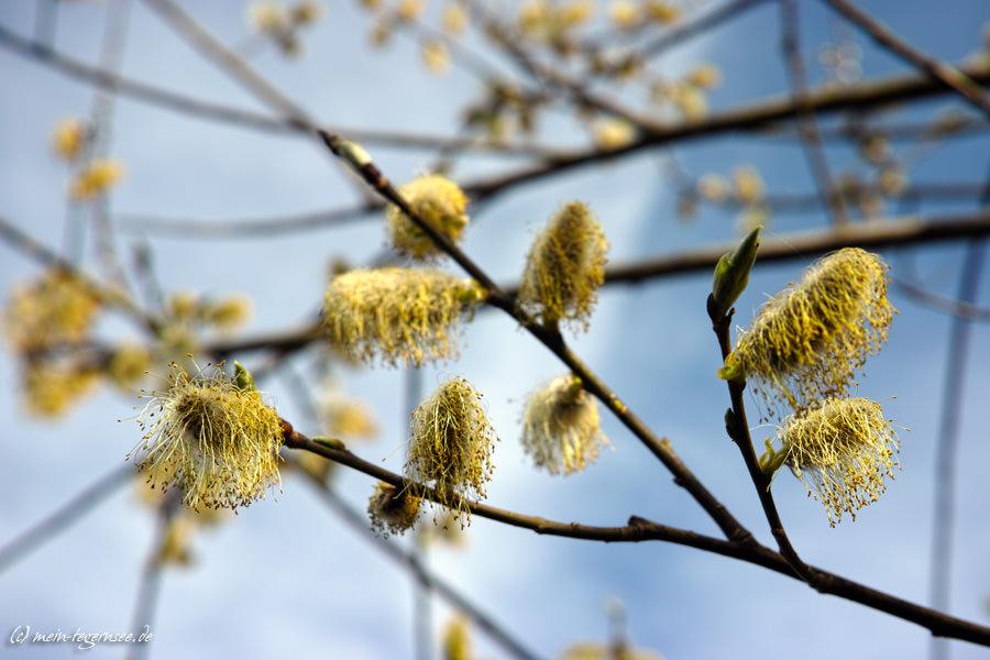 Weidenkätzchen / Palmkätzchen (Salix spec.)