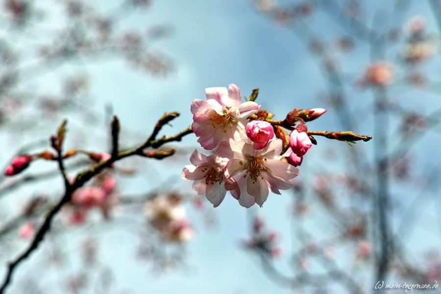 japanische Zierkirsche (Prunis serrulata)
